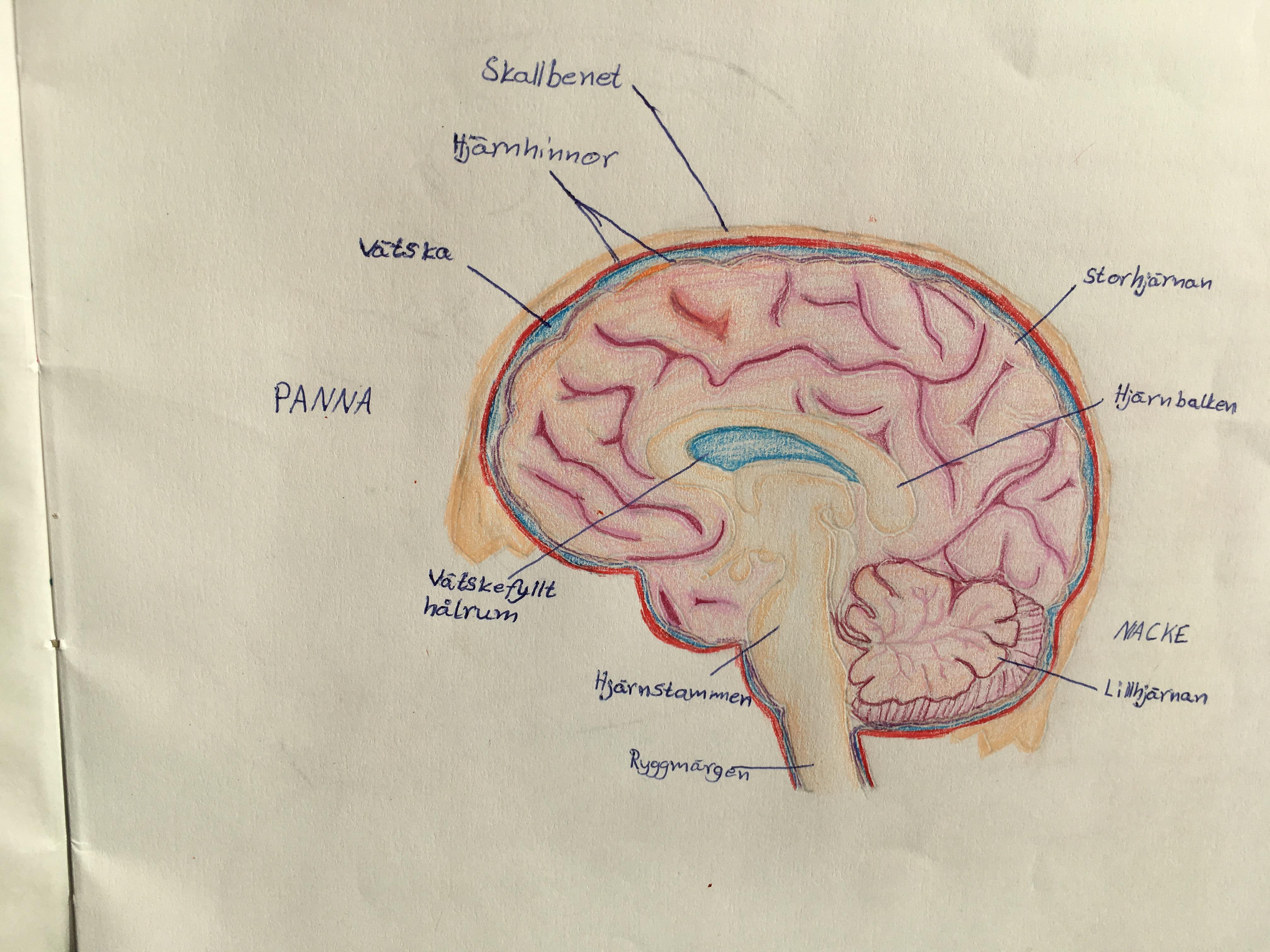 kalk i hjärnan